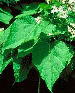 http://dendro.cnre.vt.edu/dendrology/images/Catalpa%20speciosa/leaf1.jpg