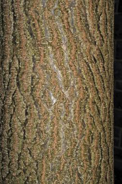Northern Catalpa Fall Color