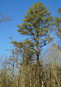 Pinus Rigida Fact Sheet