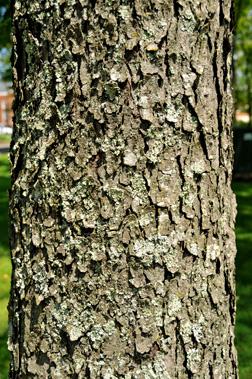 Prunus serotina Fact S... What Prunus Serotina Bark Look Like