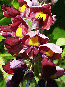 pueraria montana
