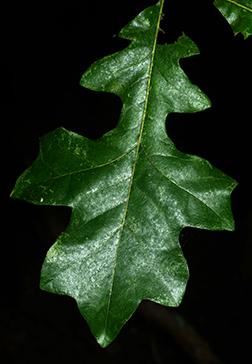 Quercus lyrata page