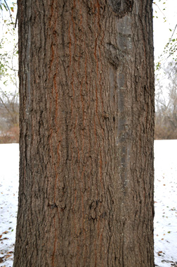Quercus Nigra Fact Sheet