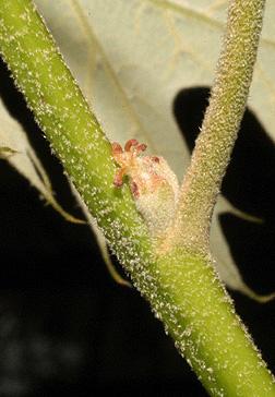 Black Oak Fruit