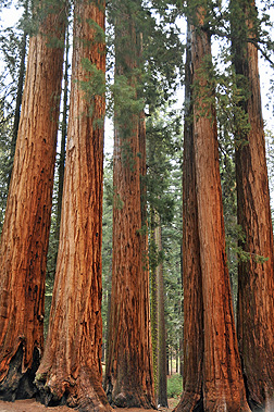 "analysis of planting a sequoia God's omnipotence and omnipresence in joyce kilmer's trees - the famous poem ""trees"" by joyce kilmer is a lyrical poem that focuses on nature, in which god has made."