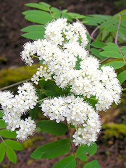 Green Ash Flower