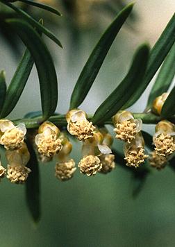 Taxus Baccata Fact Sheet
