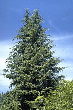 Tsuga heterophylla - Wikipedia