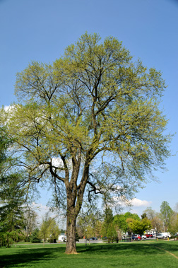 Additional Range Information Ulmus Americana Is Native To North America May Be Expanded By Planting See States Reporting American Elm