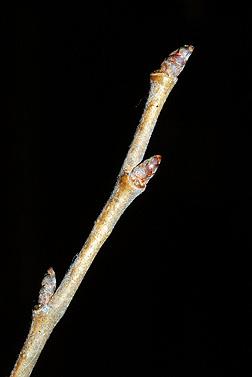 Ulmus Americana Twig Virginia Tech Dendrolo...