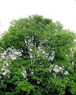 Additional Range Information Ulmus Rubra Is Native To North America May Be Expanded By Planting See States Reporting Slippery Elm