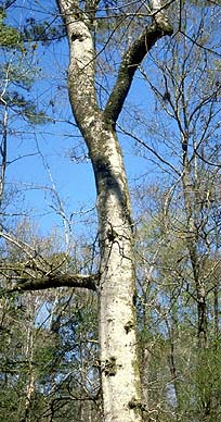 ... platanus occidentalis cottonwood populus deltoides pecan carya